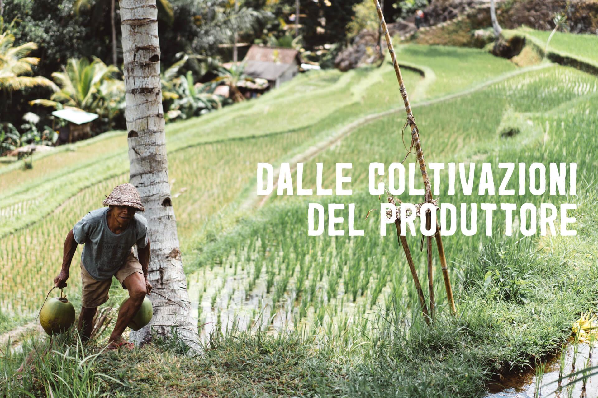 Coltivatore con due nodi di cocco verde ai piedi di una palma